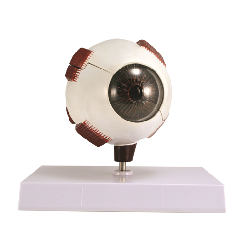 Picture of Eye Model - Full 5X5X6